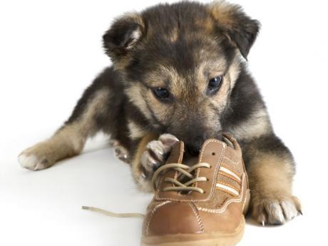 zapato perro:
