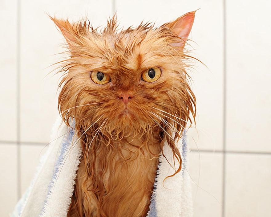 Como ba ar a un gato actitudfem - Banar gatos ...