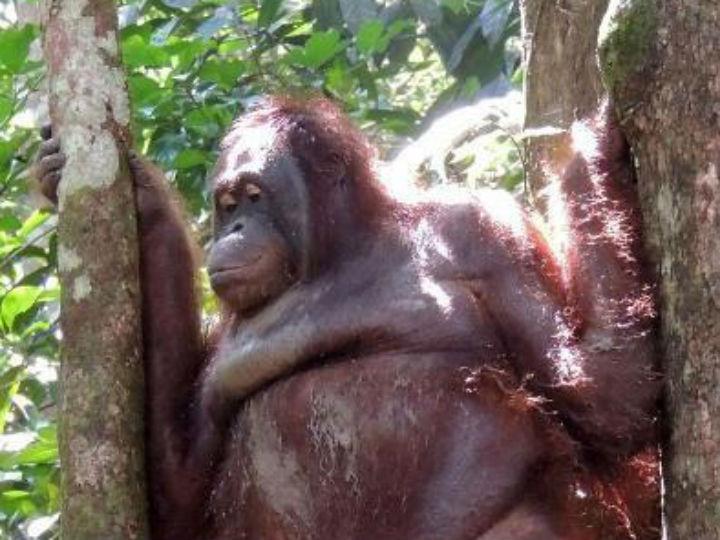 Orangután vio a la mujer que la prostituyó durante años y así reaccionó    ActitudFem