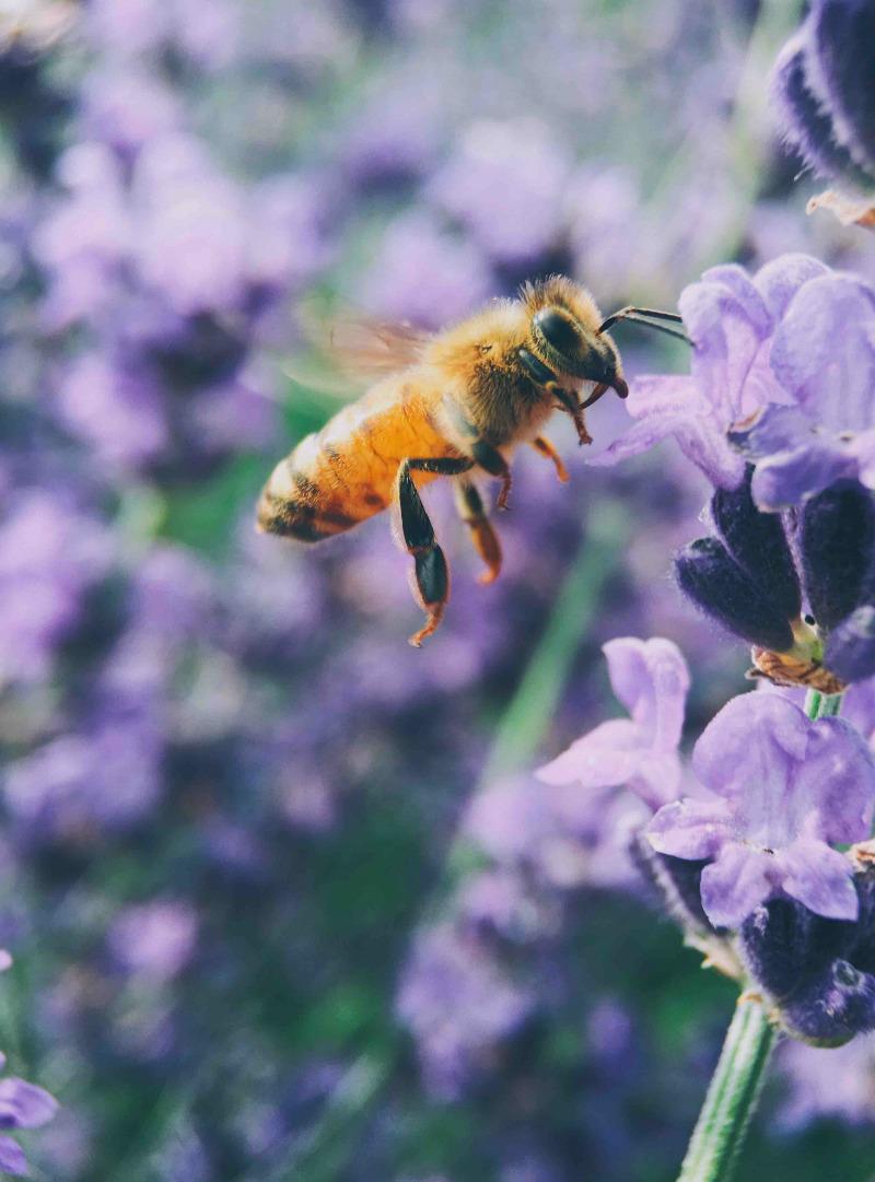 Imagen muy de cerca de una abeja vuela y se aproxima a una flor morada para tomar el polen.