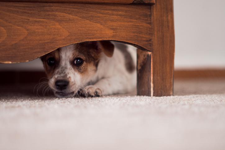 Perrito escondido abajo de la cama, asustado.
