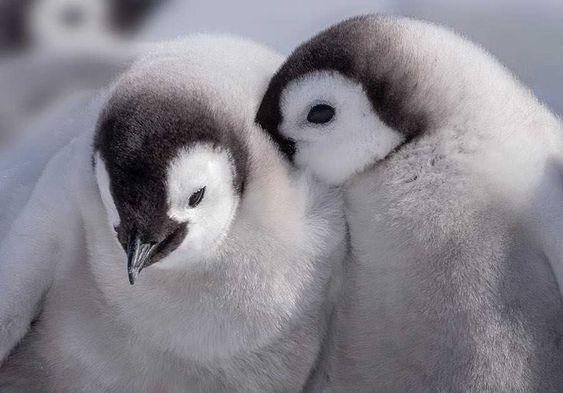 crias-pinguino-emperador