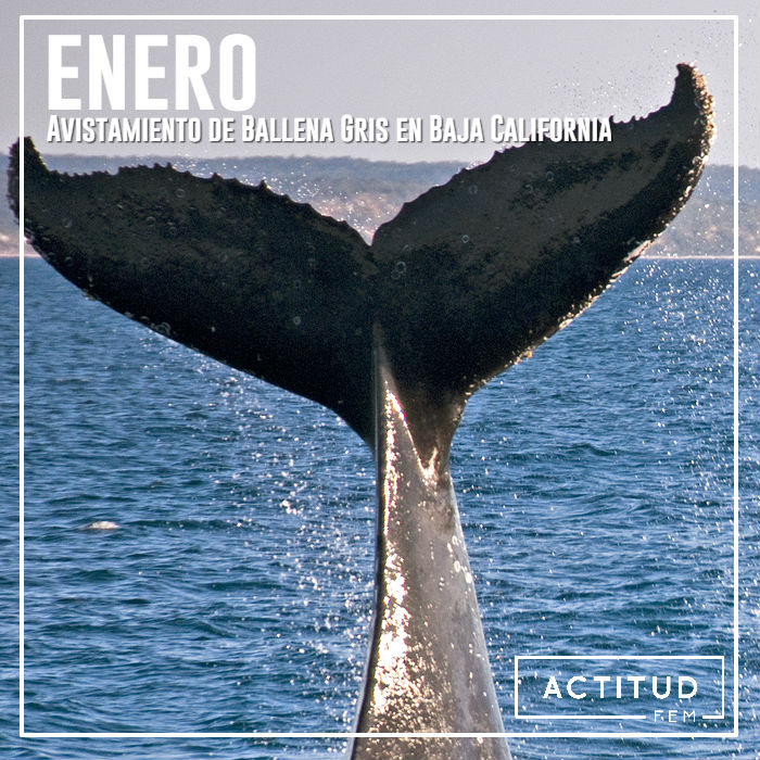 Enero avistamiento de ballena gris en Baja California
