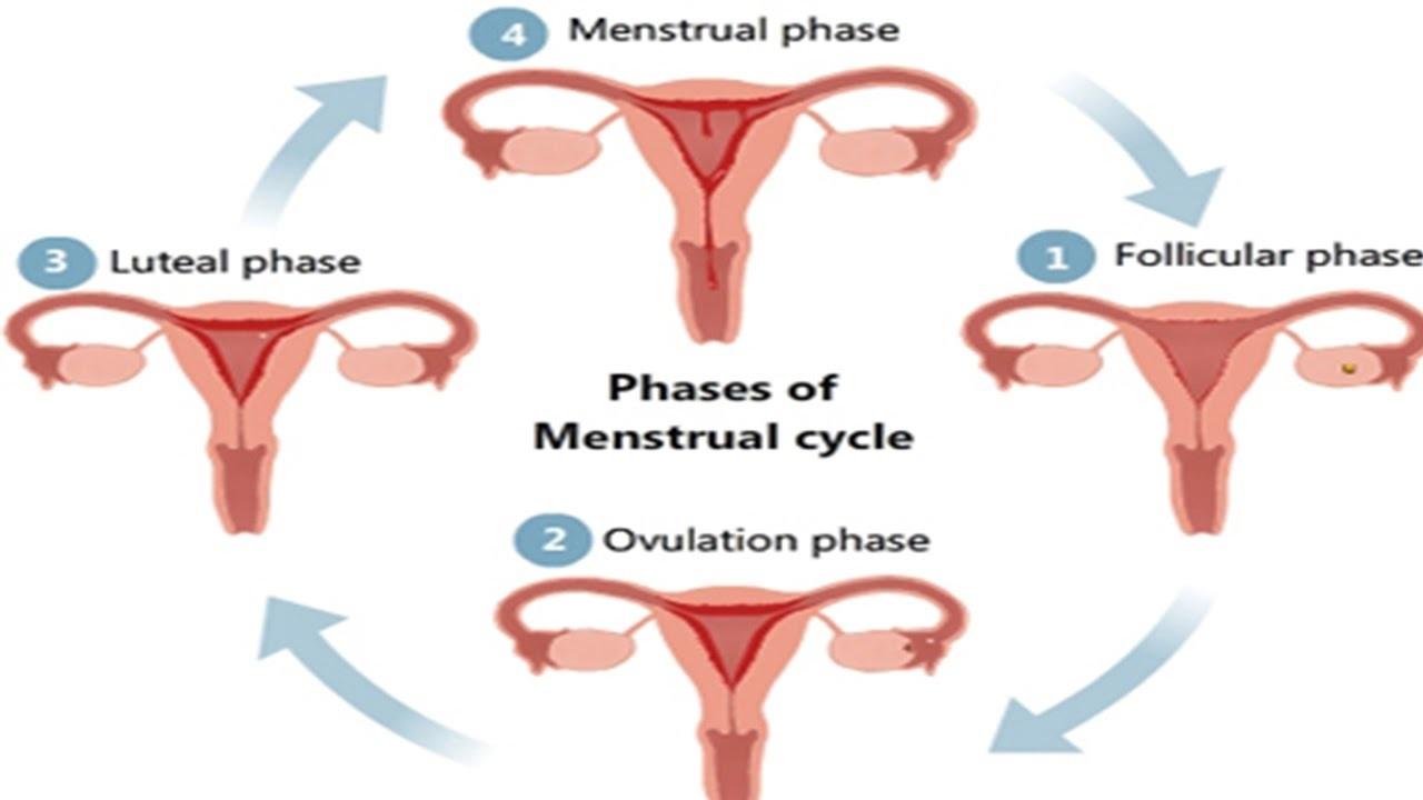fases-del-ciclo-menstrual