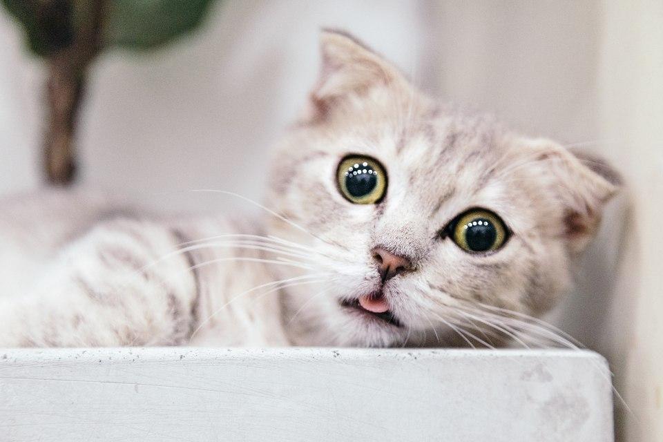 Gato con mirada tierna