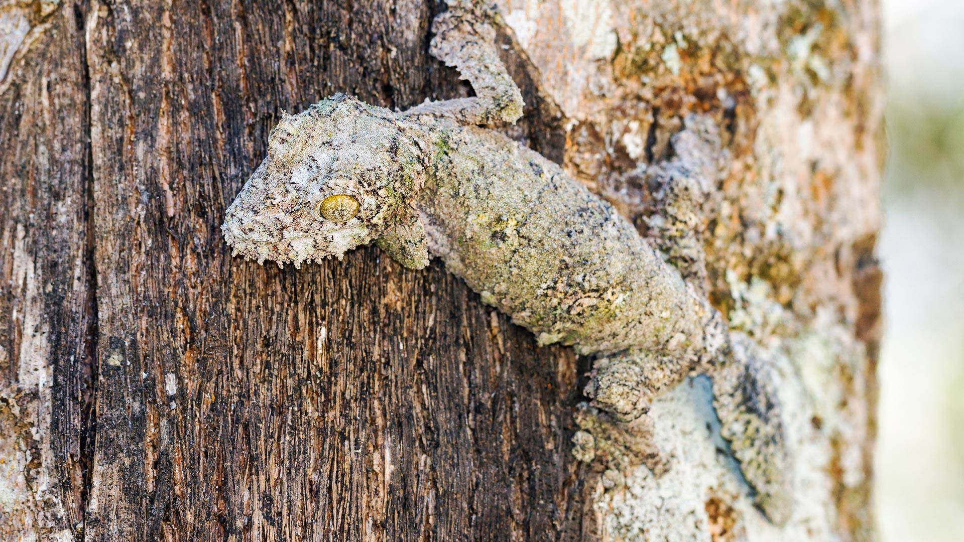 gecko-camuflado