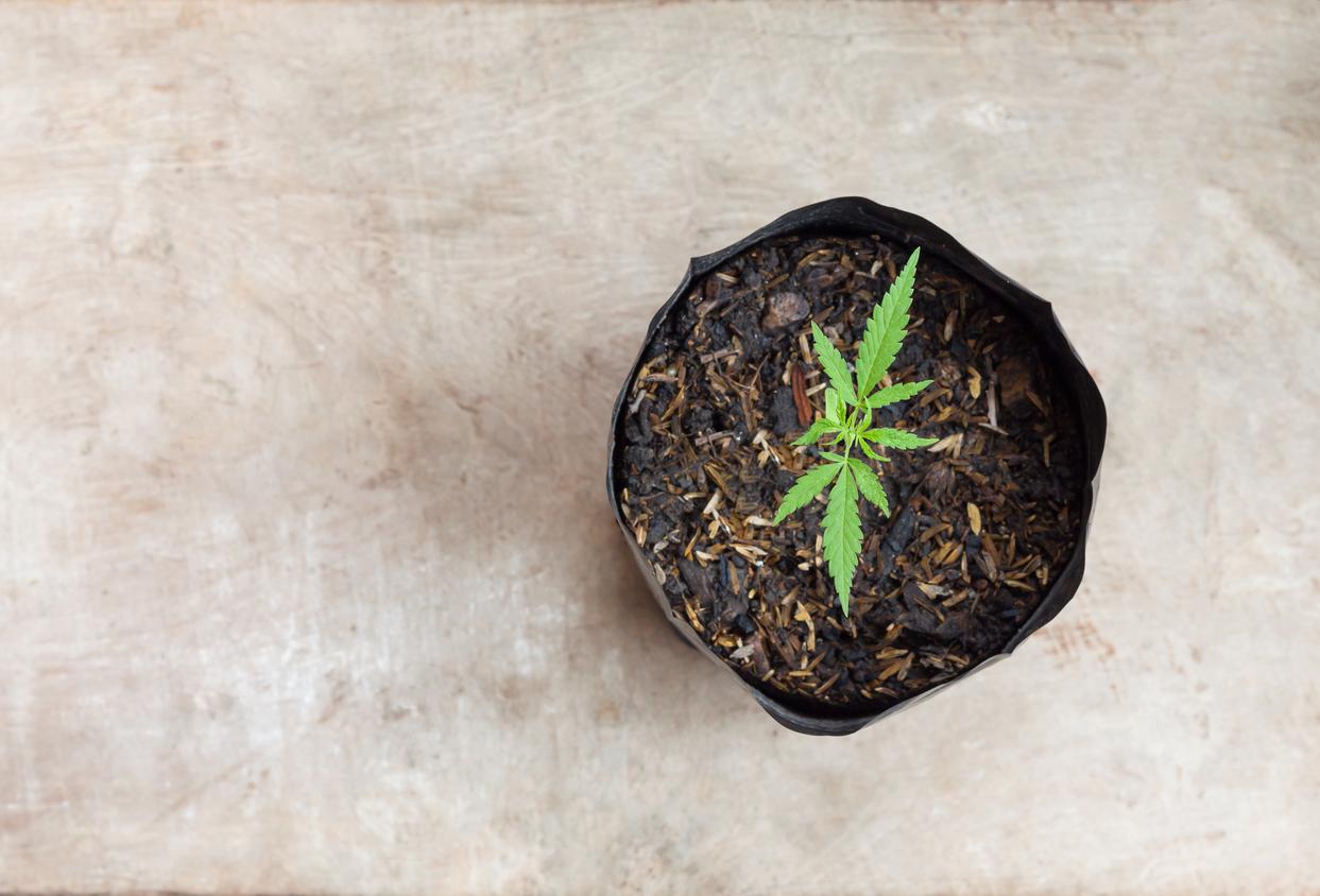 Por qué decidí plantar mi propia cannabis
