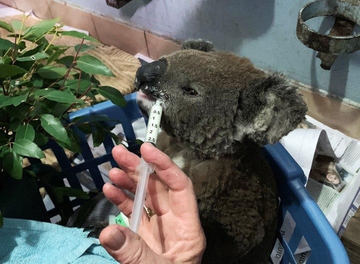 Un koala quemado siendo alimentado