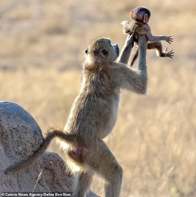 mono-recrea-escena-rey-leon-2