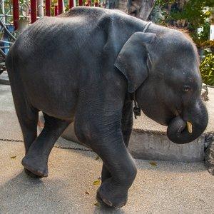 Foto de Dumbo, cría de elefante del zoológico de Phuket, Tailandia