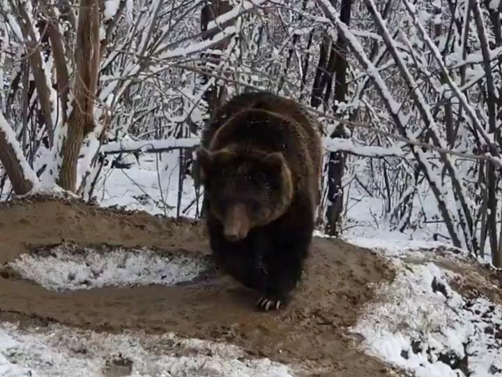 Osa grizzly caminando en la nieve haciendo un caminito