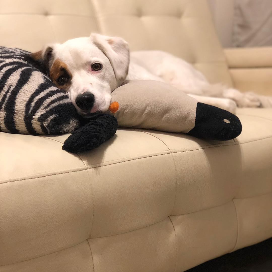 Se ve a la perrita Julieta recostada sobre un sofá blanco. Debajo de ella hay unas almohadas una con forma de pato y la otra con rayas tipo cebra.