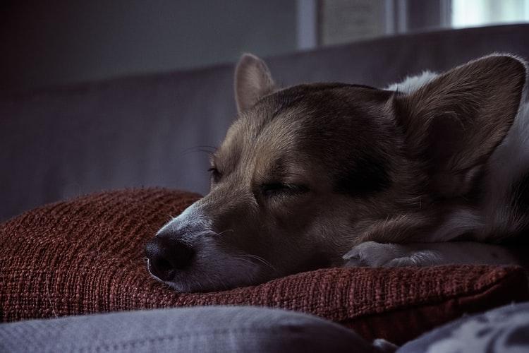 perros-suenan-con-sus-duenos-cuando-duermen