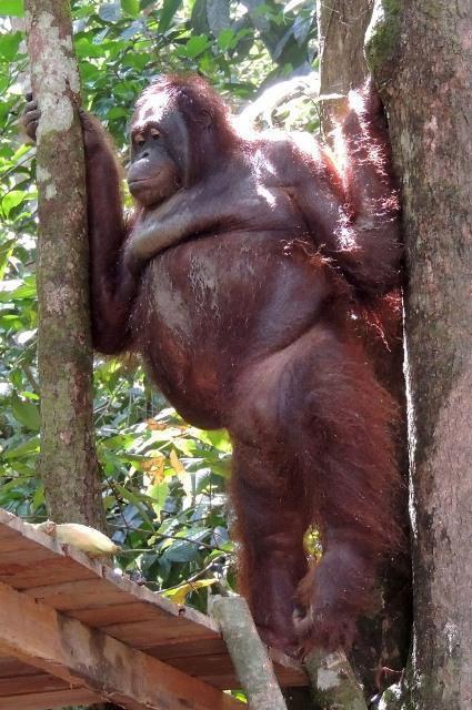 pony-orangutan-que-prostituian