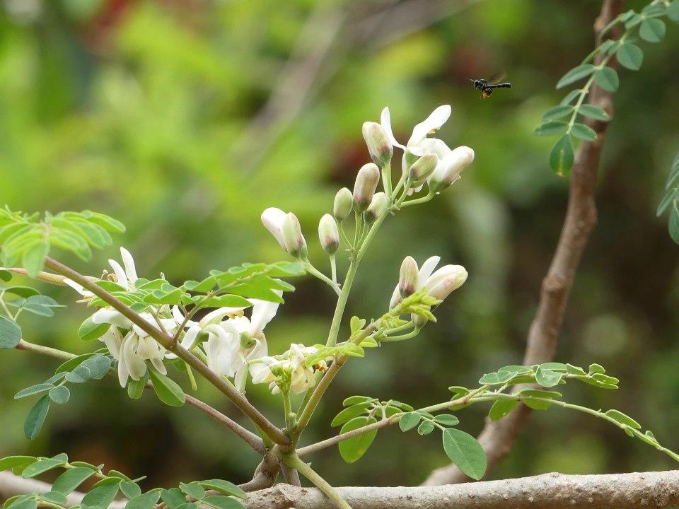 Fotografía de un árbol de moringa