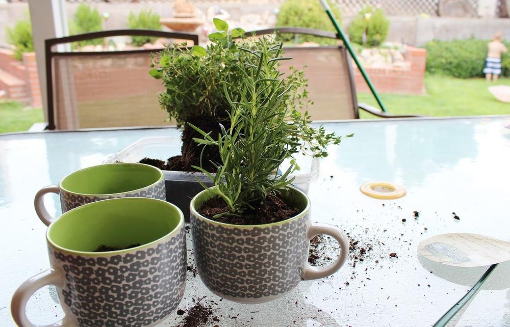 Cómo sembrar cilantro en tazas