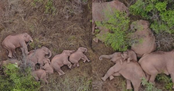 Una manada de elefantes fueron captados tomando una siesta en China