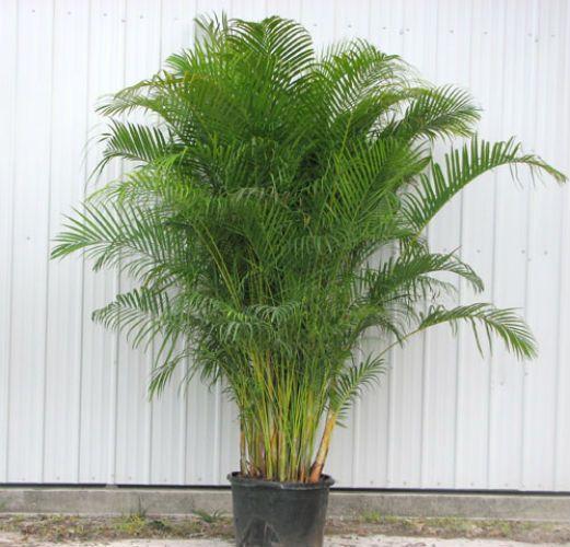 Plantas de interior para limpiar el aire de tu casa - Planta interior palmera ...