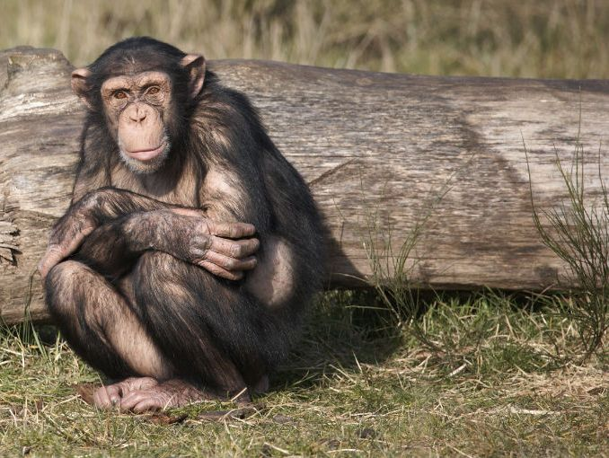 similitudes entre humanos y gorillas | ActitudFem