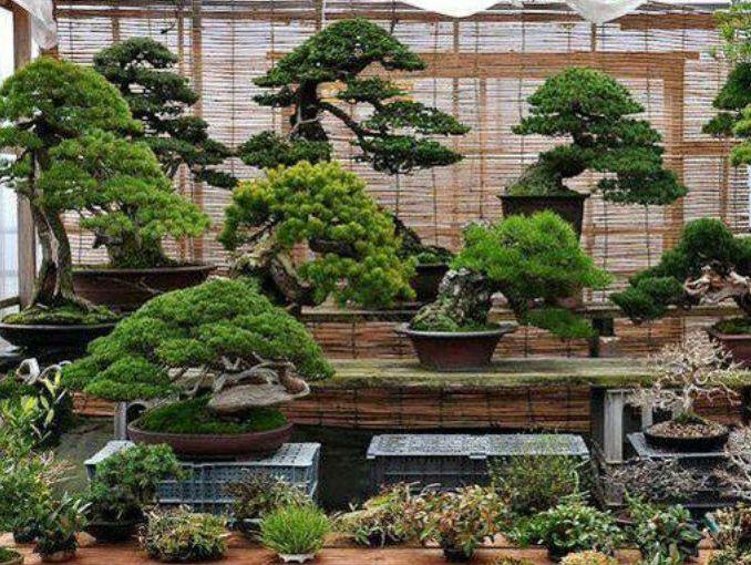 C mo cuidar un bons i actitudfem - Como cuidar un bonsai ...