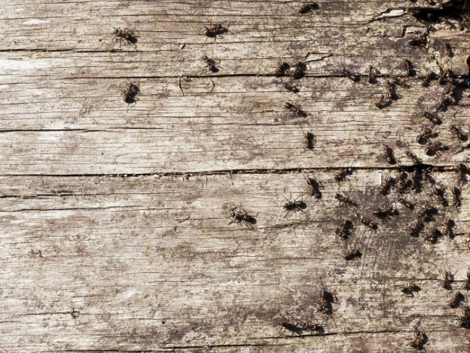 Deshazte de las hormigas sin usar insecticida | ActitudFem