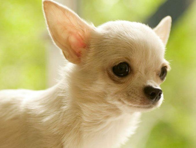 Cuidados Especiales Para Perros De Razas Pequeñas Actitudfem